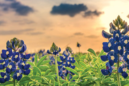 Texas Impact bluebonnet thumb