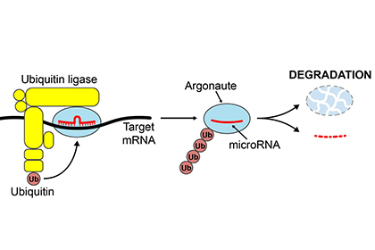 Breaking it down: How cells degrade unwanted microRNAs