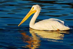 Picture of a pelican on a lake
