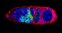 Stained Drosophila embryo