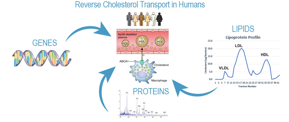 Reverse Cholesterol Transport in Humans