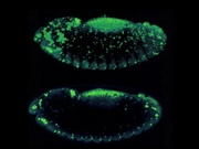 Programmed cell death in the fly embryo