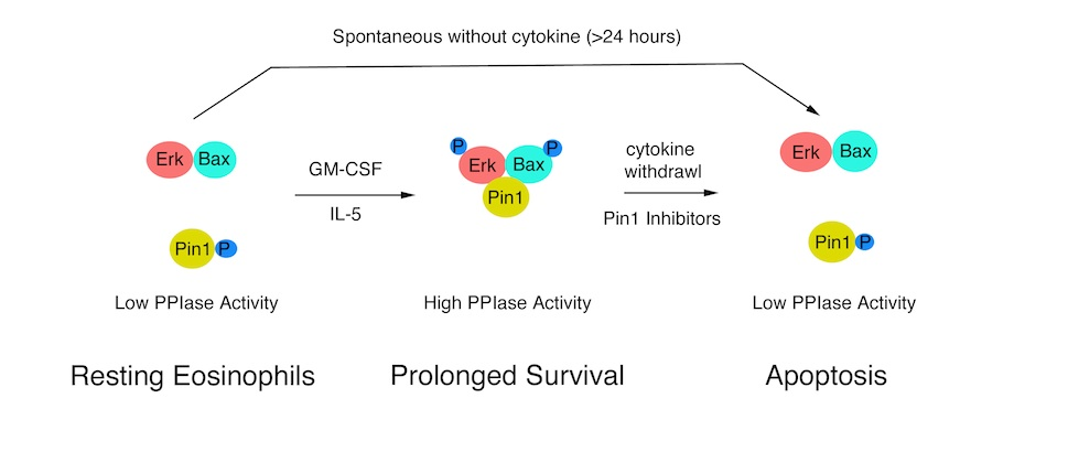 Eosinophil apoptosis is mediated by Pin1