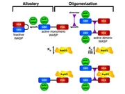 Hierarchical Regulation of WASP/WAVE Proteins