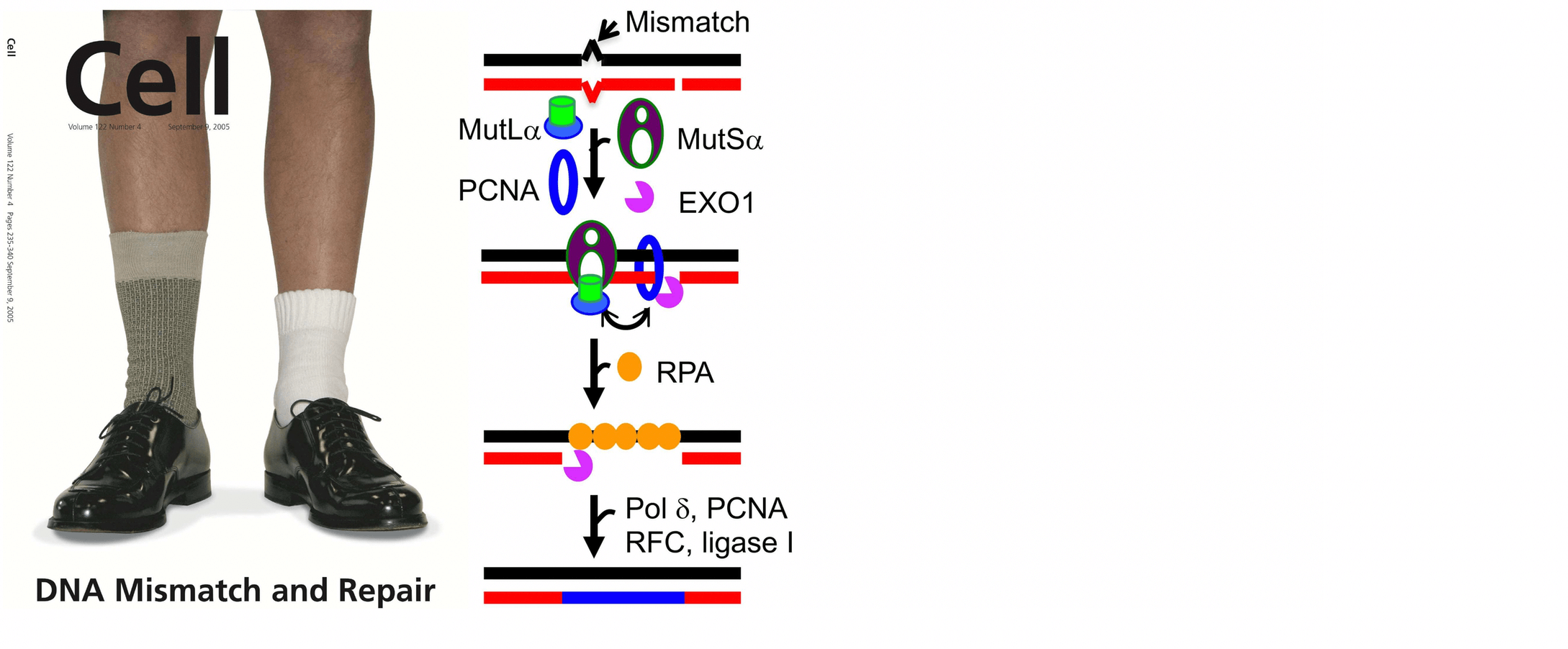 DNA Mismatch and Repair