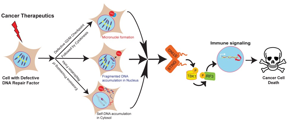 Diagram depicting DNA repair factors and immunotherapy