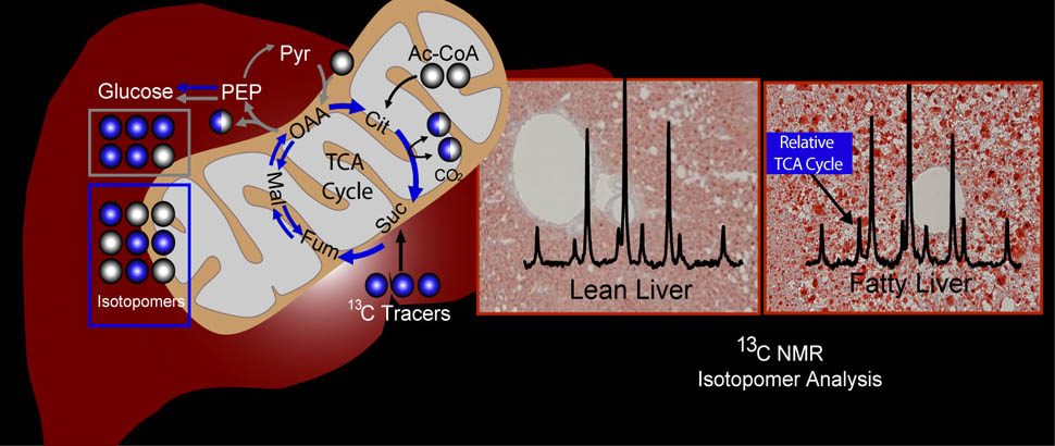 Stable Isotope Tracers of Metabolism