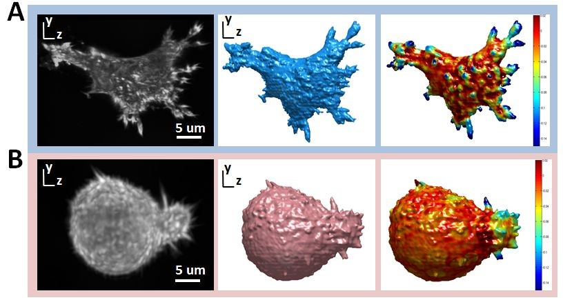 imaging and quantifying cell morphology in 3D