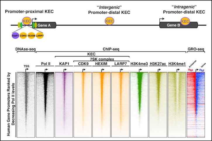 Our lab has recently identified a novel transcription elongation complex referred to as KEC, which controls the expression of thousands of genes (such as growth-driving genes) in cancer cells.