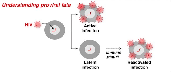 HIV integrates into chromatin accessible areas of the host genome.