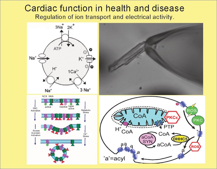 Cardiac function in health and disease