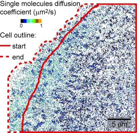 Integrin single-molecule dynamics vs. cell edge protrusion activity