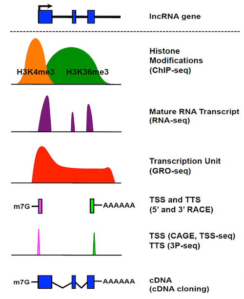 lncRNA Discovery and Annotation