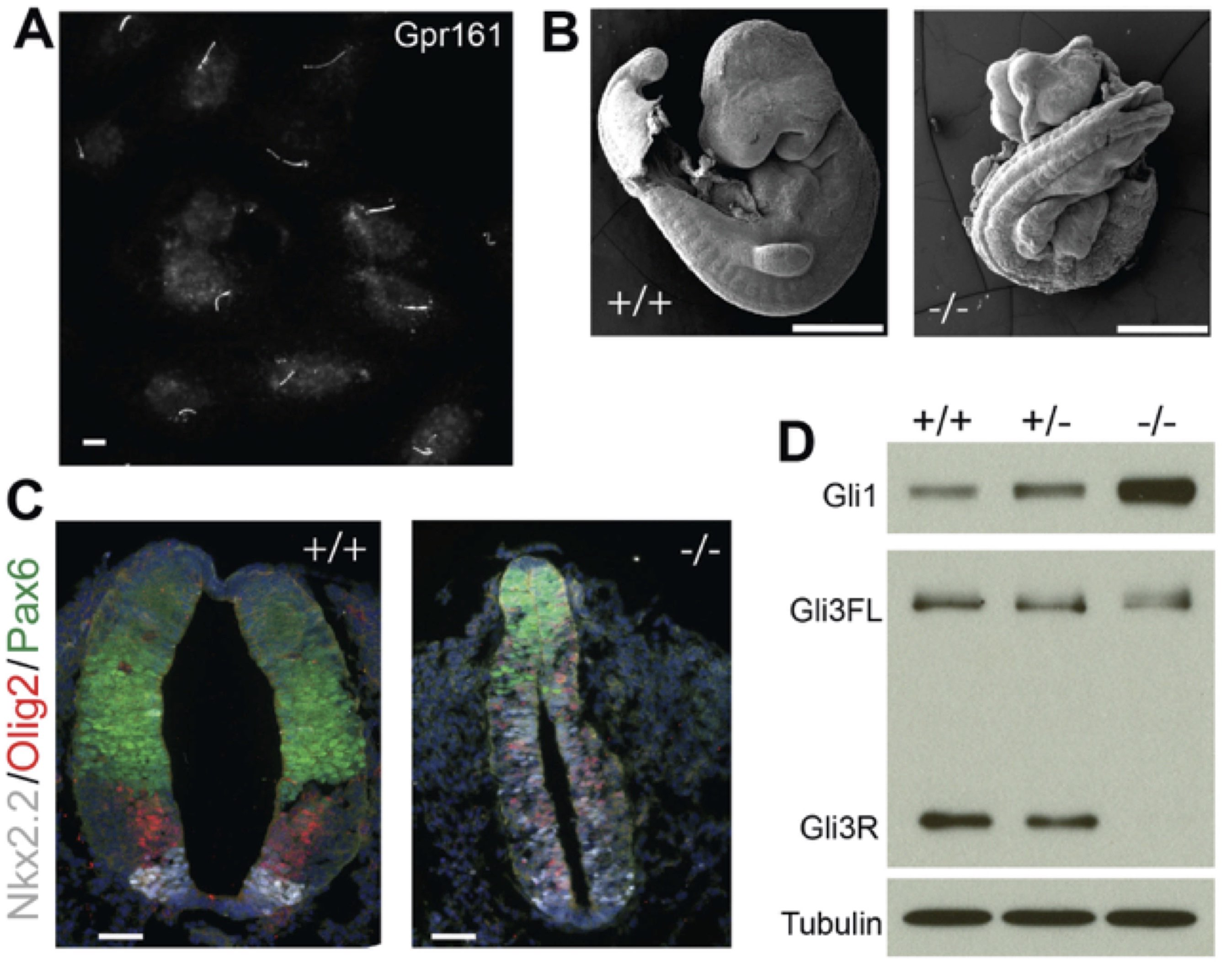 Gpr161 is a critical negative regulator of Shh signaling in the mouse neural tube. (A) Endogenous Gpr161 in IMCD3 cilia. (B) E9.5 embryos from the Gpr161 knock out (-/-) shows widespread defects compared to wild-type (+/+). (C) Ventralized neural tube in the E9.5 knock out embryos. (D) Gli1 protein levels and Gli3 processing defects in E8.5 embryo lysates.