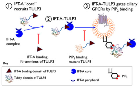 "Figure 1. Model depicting the role of IFT-A and TULP3 in ciliary GPCR trafficking. IFT-A ""core"" complex associates with and provides ciliary access to TULP3. TULP3 in turn is required for trafficking of certain ciliary localized GPCRs. While expression of the TULP3 N-terminal fragment prevents endogenous TULP3 from being recruited to IFT-A (step 2), expression of a full-length TULP3, with defective phosphoinositide binding, prevents loading of IFT-A to the preciliary vesicles (step 3), in both cases preventing GPCR trafficking to cilia."