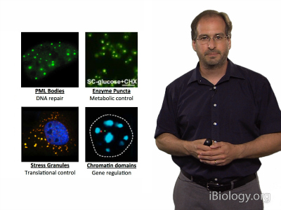 Michael Rosen video: Physical Mechanisms of Cell Organization on Micron Length Scales (Jul, 2014)