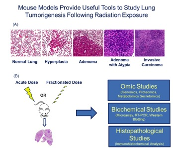 Figure 2. (A) The KrasLA1 mouse model of lung tumorigenesis recapitulates many aspects of human lung cancer development and provides an invaluable tool to study disease etiology. (B) Utilizing lung cancer susceptibility models and system biology approaches, our research is focused on obtaining relevant biological information on radiation-induced effects.