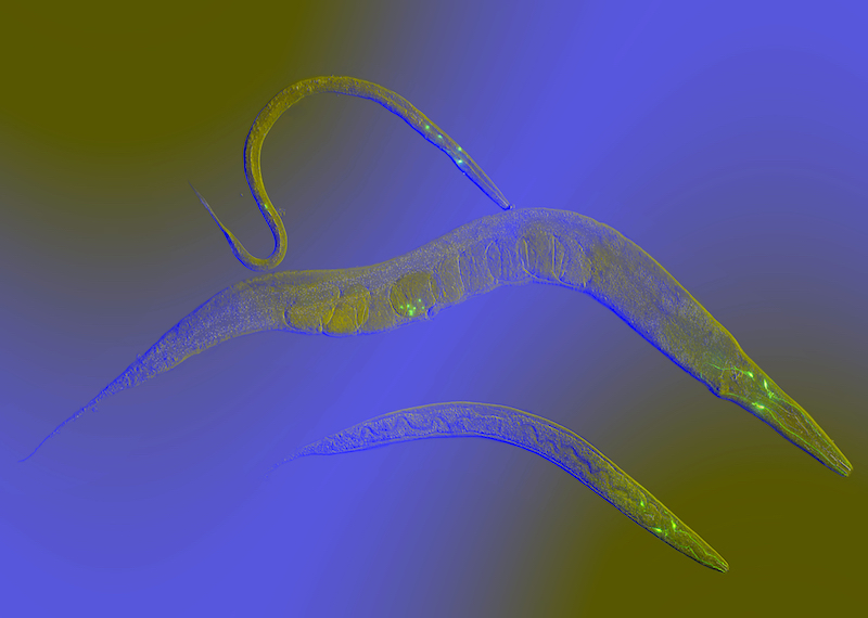 C. elegans (roundworms)