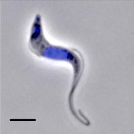Parasite illustration