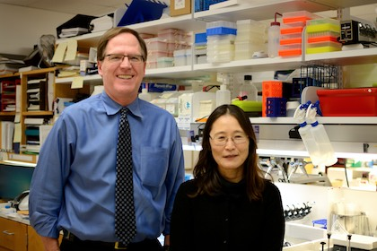 Dr. Philip Shaul and Dr. Chieko Mineo, who lead a team that discovered a major mechanism by which obesity causes type 2 diabetes, are pictured in a lab.
