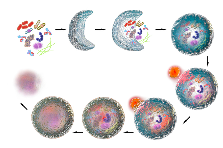 An illustration depicting the stages of autophagy