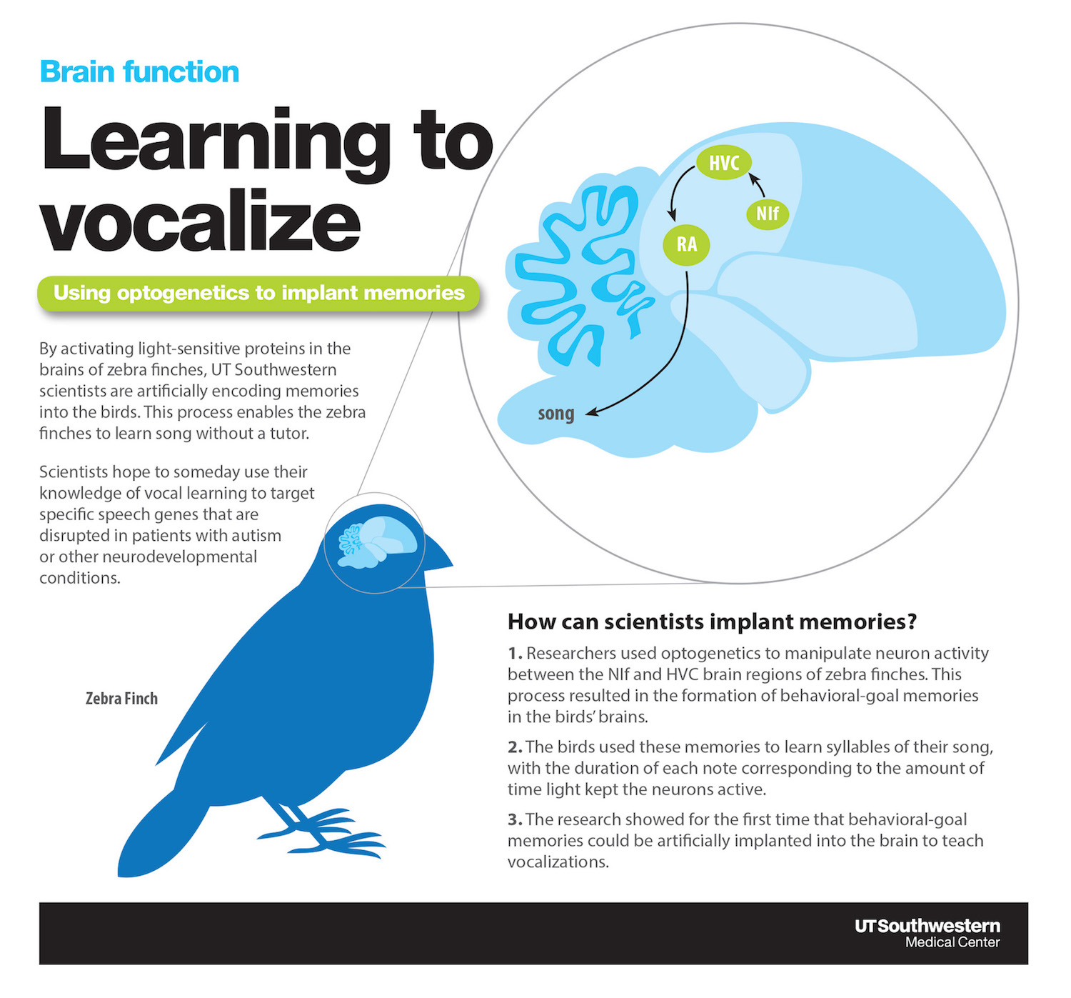 Vocal learning infographic: Learning to vocalize. Using optogenetics to implant memories