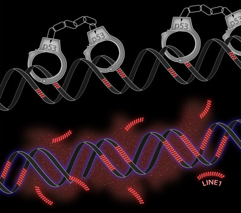 "Retrotransposons are ""handcuffed"" by the tumor suppressor gene"