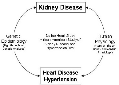 Platform for studying the interplay between kidney disease, heart disease, and hypertension.