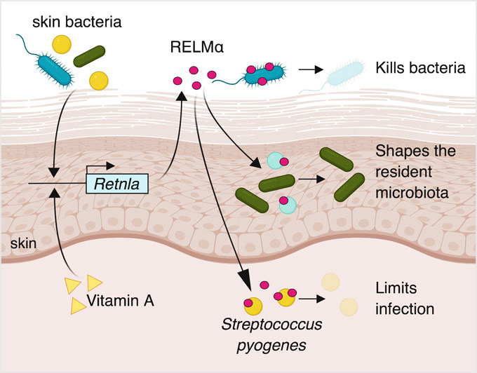 A bacteria-killing protein on the skin called RELMα needs vitamin A to work